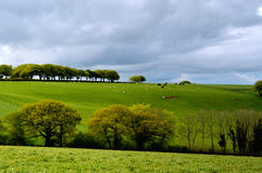 English Rural Fields. Idyllic English green rural fields with cows and sheep Stock Image