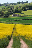 An English Rural Landscape. With fields of Yellow flowering Rapeseed Royalty Free Stock Photography