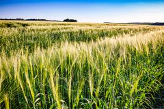 English rural landscape with barley field. In Southern England UK Royalty Free Stock Photography