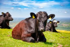 English rural landscape in with grazing Aberdeen Angus beef catt Royalty Free Stock Photography