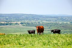 English rural landscape in with grazing Red Poll cow. Red Poll cow at pasture on the South Downs hill in rural Sussex, Southern England, UK Stock Images