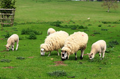 An English Rural Landscape with Grazing Sheep Royalty Free Stock Photo