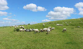 An English Rural Landscape with Grazing Sheep Stock Image