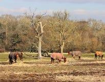 Horses Grazing in Rural England Stock Photos