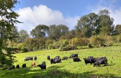 English rural scene with cows Stock Photo