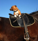 English saddle and staffie. Black english saddle in leather and staffordshire bull terrier Stock Images