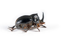 English scarab beetle - Copris lunaris on white. Royalty Free Stock Image