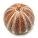 English Sea Urchin shell Stock Photos