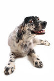English setter Royalty Free Stock Photography