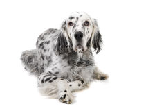 English Setter. Portrait of an English Setter isolated on a white background stock photo