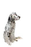 English Setter. Portrait of an English Setter isolated on white background Stock Photos
