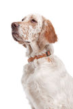 English Setter Stock Photography