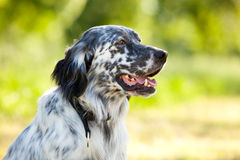 English setter Stock Images