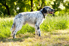 English setter. Outdoor in the field summer day Stock Photo
