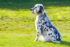 English Setter. Beautifully groomed English Setter with grass on the background Stock Photos