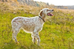 The English setter  Royalty Free Stock Images