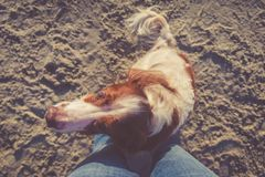 English setter on the beach sitting near someone`s legs. Outdoor time and doggy friend concept. Horizontal, warm toning, top view stock photos