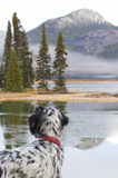 English Setter Bird Dog Looking Across a Lake Stock Photo