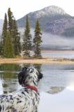 English Setter Bird Dog Looking Across a Lake Stock Photo