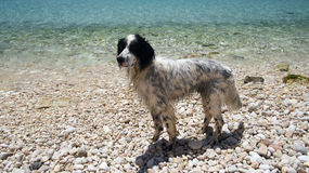 English setter black & white Stock Images