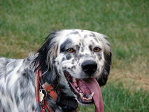 English Setter Close-Up. Close-up head shot of an English Setter Stock Image