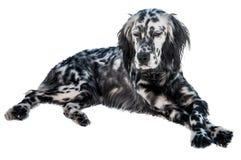 English setter dog Stock Photography