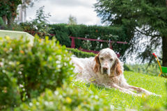 English Setter dog in the blazing sun laying on grass Stock Images