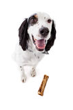 English Setter Dog with Bone Stock Photography