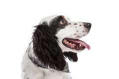 English Setter Dog Stock Images
