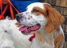 English Setter Dog on Leash Stock Photo