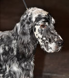 English Setter dog Stock Photos