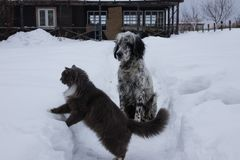 English Setter dog playing with cat in snow. royalty free stock image