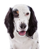 English Setter Dog Portrait Royalty Free Stock Photos