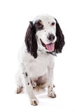 English Setter Dog Portrait Stock Photography