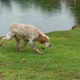 English setter dog sniffs the tracks outdoor. Hunting concept. Space for text stock images