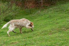 English setter dog sniffs the tracks outdoor. Hunting concept. Space for text royalty free stock photos