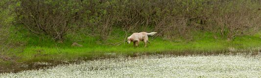 English setter dog sniffs the tracks outdoor. Hunting concept. Space for text royalty free stock photography