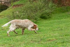 English setter dog sniffs the tracks outdoor. Hunting concept. Space for text stock photos