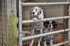 English Setter Dogs Royalty Free Stock Images