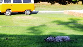 English Setter. Playing and lying on the grass stock video
