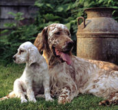 English setter. An english setter father, with his puppy resting on the grass in front of an old milk jug royalty free stock images