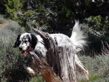 English Setter in the Field. English Setter on the hunt Stock Image