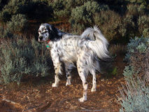 English Setter Full Body Shot. English Setter waiting for the command Royalty Free Stock Image