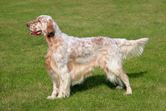 English Setter  on a green grass lawn. Typical English Setter  on a green grass lawn Stock Photos