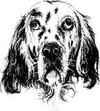 English setter. Hand draw vector Royalty Free Stock Image