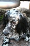 English Setter. Head of a beautiful dog. Siberia, Russia Royalty Free Stock Images