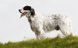 English setter on the hill Stock Photo