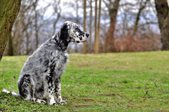 English setter Stock Image