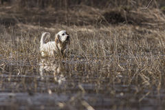 English Setter hunting Royalty Free Stock Image