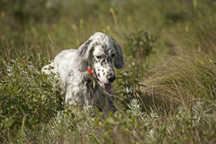 English setter hunting in field Stock Photos
